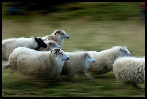 """Un branco di pecore invade Palazzo Chigi. E' l'ultima scena de' """"La pecora vera"""""""